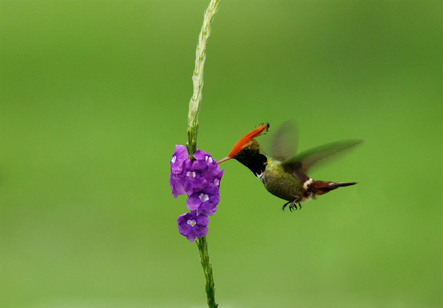 Exotic Hummingbirds