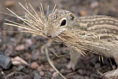 Photograph: Ground Squirrel