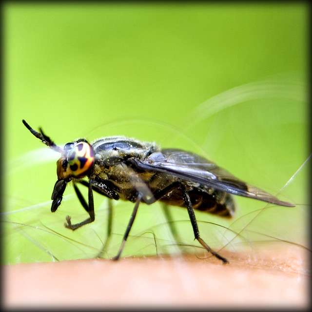 deer fly bites how to treat