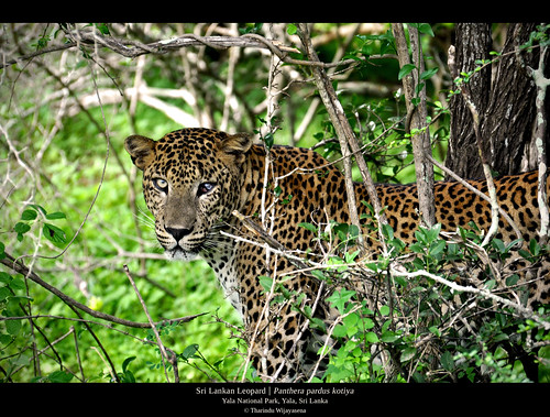 wildlife leopard bigcat srilanka yala srilankanleopard pantheraparduskotiya