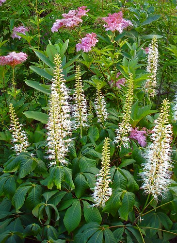 7 easy to care for flowering shrubs the garden lady for Easy care garden shrubs