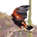 Harris Hawk takes flight in the Sonoran Desert!