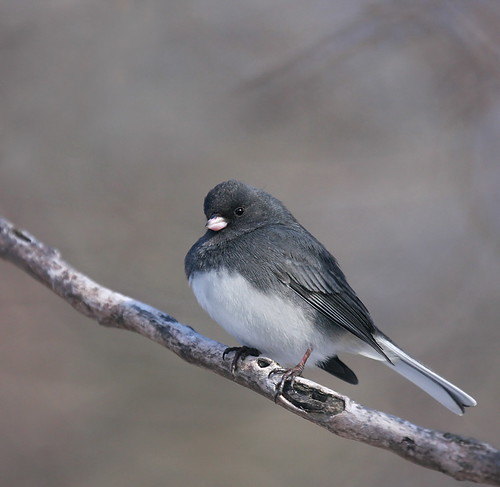 The Junco