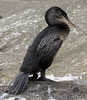 Flightless Cormorant - Photo (c) Laura Gooch, some rights reserved (CC BY-NC-ND)
