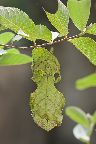 Camouflage leaf insect.........IMG_8327 copy