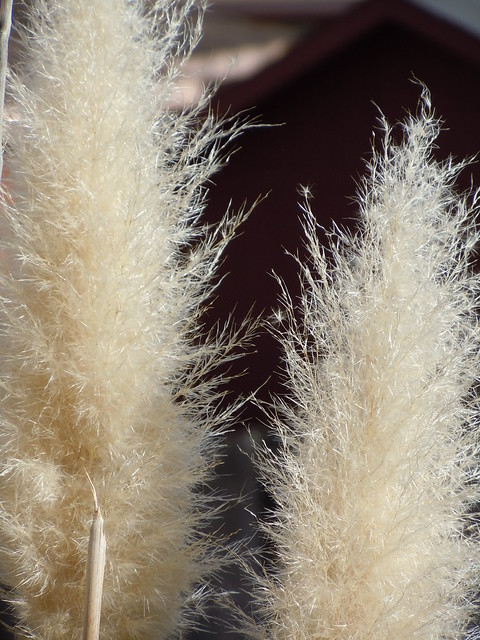 Ornamental grass plumes flickr photo sharing for Ornamental grasses with plumes