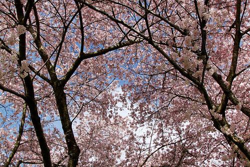 Cherry tree branch art in world - Romanian cherry tree varieties ...