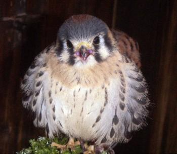 Falco sparverius 4429036200_0b07a860a3_o
