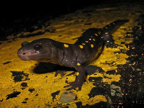 nj amphibian salamander spottedsalamander eastbrunswick middlesexcounty ambystomamaculatum beekmanroad