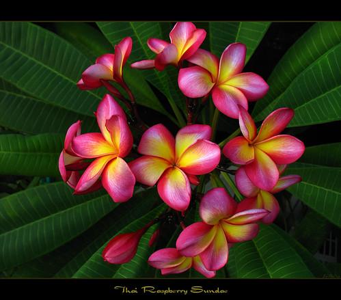 Rare Flowers - Plumeria Raspberry Sundae