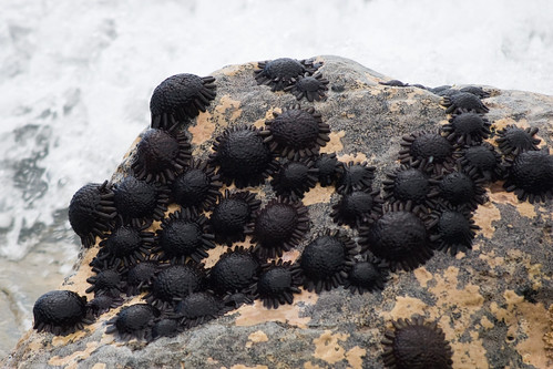 Helmet or Shingle Urchins