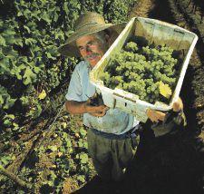 A las provincias vitivinícolas les preocupa la menor cantidad de uva