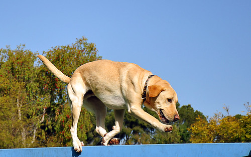 yellow Labrador balancing on a beam
