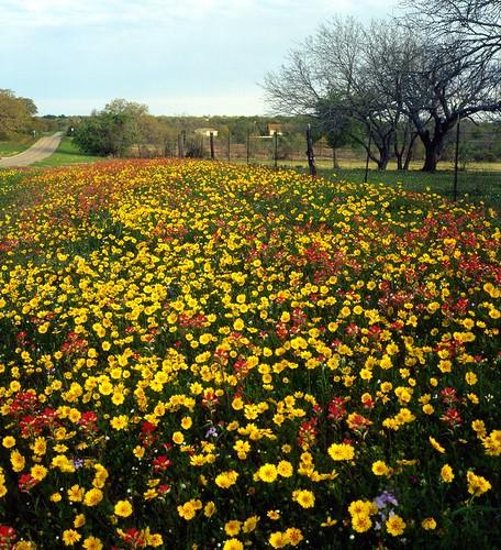 film mediumformat geotagged texas bronica wildflower filmscan indianpaintbrush coreopsis texaswildflowers castilleja bronicas2a geo:lat=29297618 geo:lon=97808946