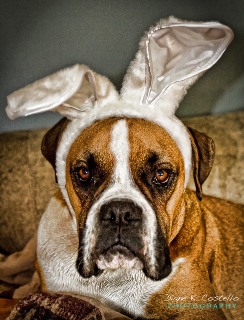 ️ Boxers & Lop Bunnies   Boxer dogs, Lop bunnies  Boxer Dogs With Bunnies