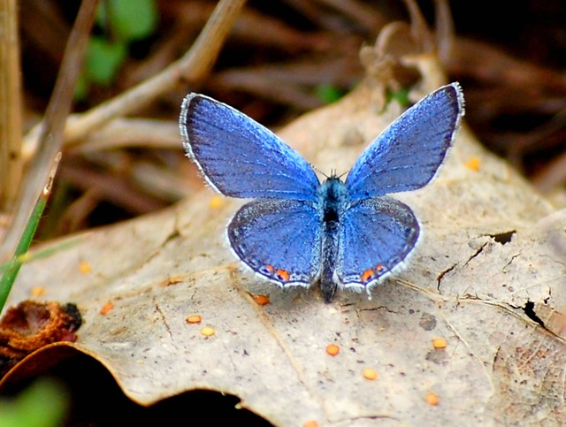 Fort Worth Focus >> Butterflies and Moths of North Texas - an album on Flickr