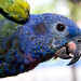 Blue-headed Parrot - Photo (c) Brian Gratwicke, some rights reserved (CC BY)