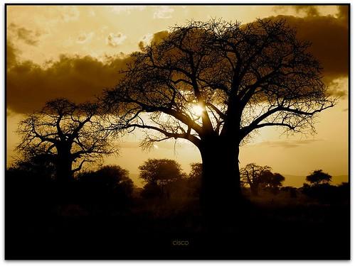 sunset tanzania tramonto cisco baobab masaimara saariysqualitypictures bestcapturesaoi