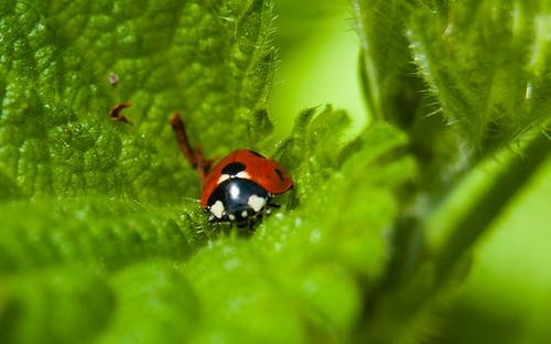 Ladybird on nettle leaf