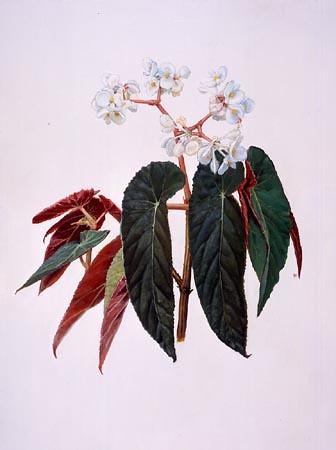 "Paul Harwood, Begonia juliana Oil on board, 20"" × 16"""