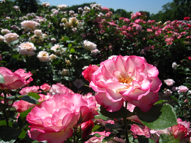 Rosa 'Tiki' blooms in the Cranford Rose Garden. Photo by Rebecca Bullene.