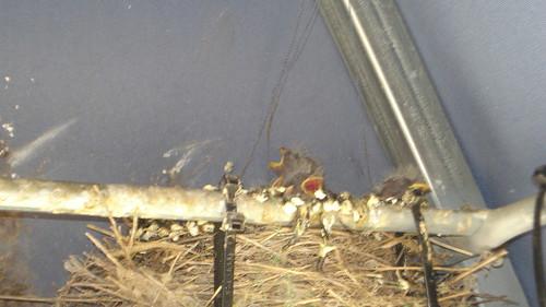 05/29/10 Baby Birds
