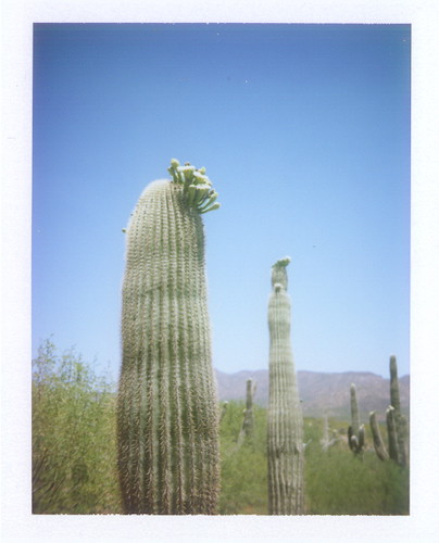 saguaros blooming- highway 188