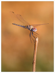 Dragonfly in flight, unknown