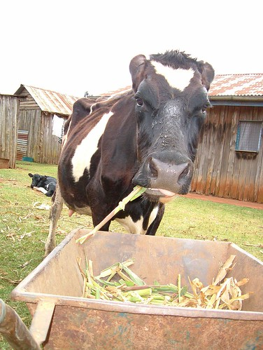 Dairy cow on a Kenyan smallholding