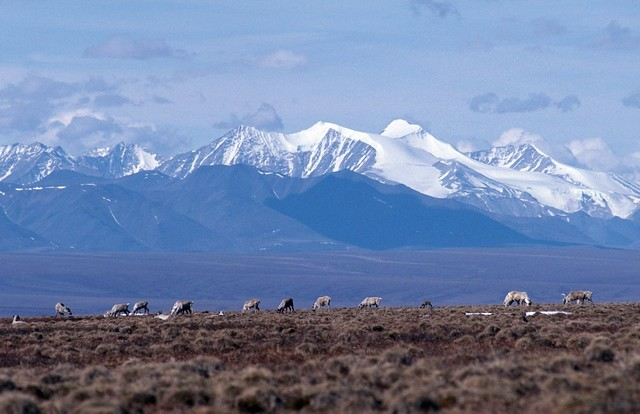 Caribou and Brooks Range, Arctic NWR