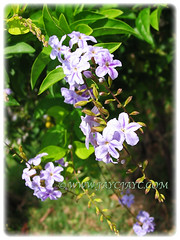 Duranta erecta 'Geisha Girl' (Pigeon Berry, Golden Dewdrop, Skyflower) with mesmerizing blossoms, 6 May 2009