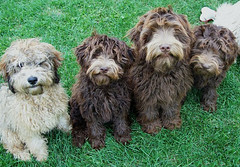 pumi(0.0), catalan sheepdog(0.0), bergamasco shepherd(0.0), miniature poodle(1.0), dog breed(1.0), animal(1.0), dog(1.0), schnoodle(1.0), lagotto romagnolo(1.0), lã¶wchen(1.0), polish lowland sheepdog(1.0), tibetan terrier(1.0), glen of imaal terrier(1.0), bolonka(1.0), poodle crossbreed(1.0), havanese(1.0), dandie dinmont terrier(1.0), cã£o da serra de aires(1.0), cockapoo(1.0), goldendoodle(1.0), portuguese water dog(1.0), spanish water dog(1.0), barbet(1.0), carnivoran(1.0),