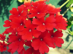 annual plant, flower, red, plant, verbena, herb, flora, petal,
