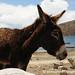Donkey at Lake Titicaca - Isla del Sol, Bolivia