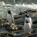 Gentoo Penguins Getting a Bit of Sun - Antarctica