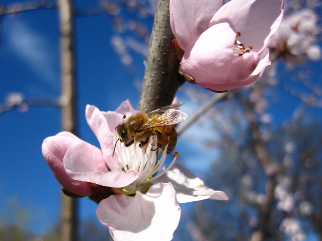 Bee on Prunus davidiana