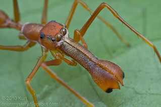 My 1st red ant-mimic spider...IMG_1384 copy