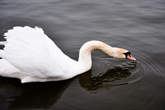 animal(1.0), black swan(1.0), water bird(1.0), swan(1.0), wing(1.0), fauna(1.0), beak(1.0), bird(1.0),
