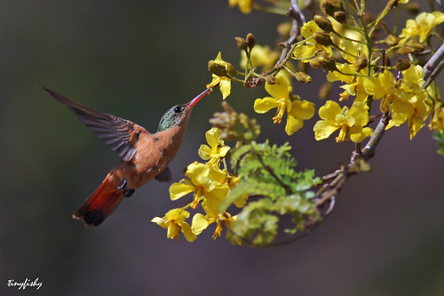 bird flying inflight costarica hummingbird cinnamon liberia allnatural code5
