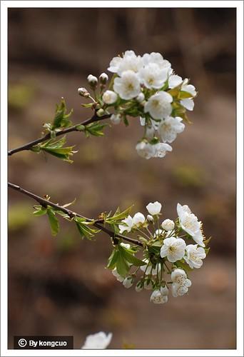 【图】樱花1