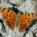 Eastern Comma - Photo (c) Larry Meade, some rights reserved (CC BY-NC-SA)