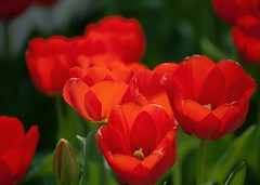 Our Garden Variety Tulips