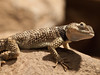 "<a href=""http://www.flickr.com/photos/matthiaswicke/4545959911/"">Photo of Sceloporus cyanogenys by Matthias Wicke</a>"