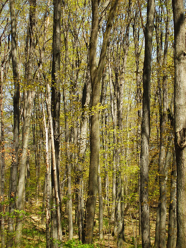 Beech Maple Forest ~ Sarah o april
