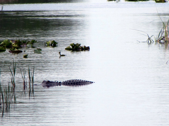 Alligator At Everglades Fan Boat Toar Cooper Town Airboa