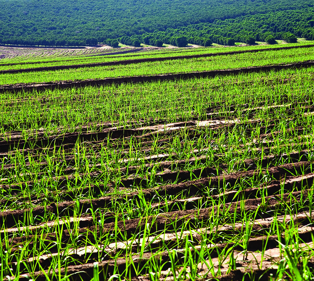 sugarcane cultivation sugarcane is grown in the united