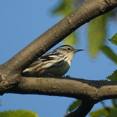 Black and White Warbler (female)