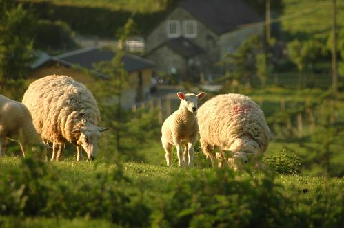 Sheep - 4