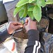 Small photo of Grafting avocado