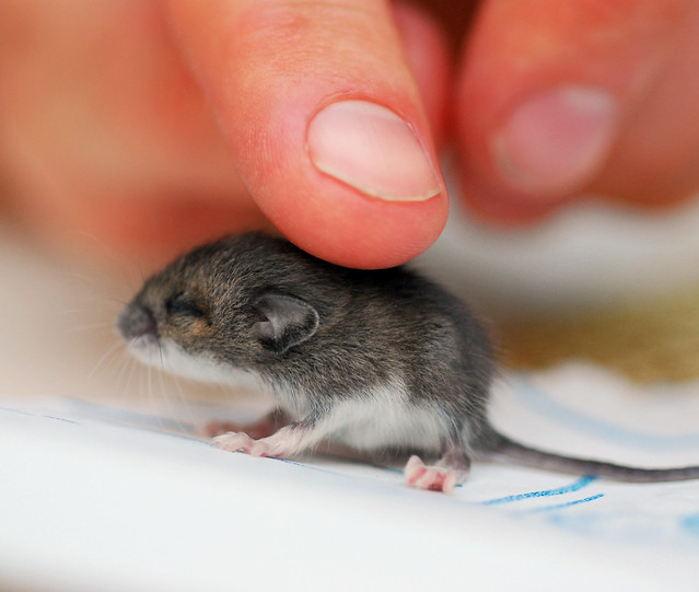 baby mouse flickr photo sharing